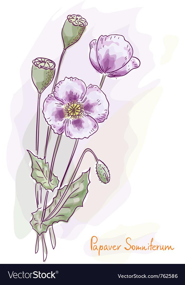 Opium poppy vector | Price: 1 Credit (USD $1)