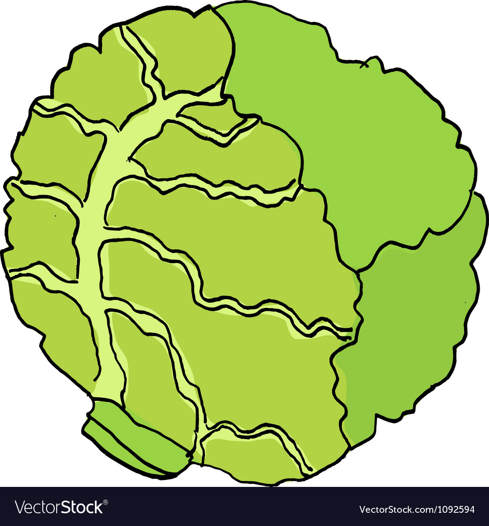 Cabbage vector | Price: 1 Credit (USD $1)
