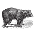 American black bear engraving vector