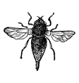 Bot flies vintage engraving vector