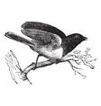 Dark-eyed junco vintage engraved vector