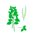 Parts of holy basil plant on white background vector