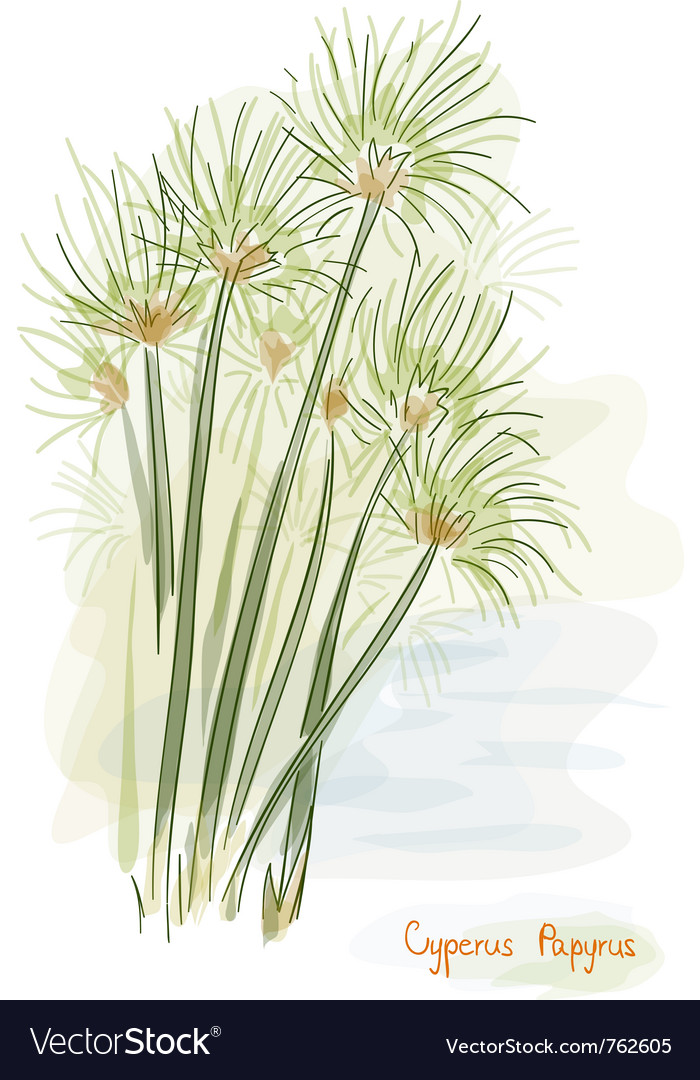 Papyrus plant watercolor style vector | Price: 1 Credit (USD $1)