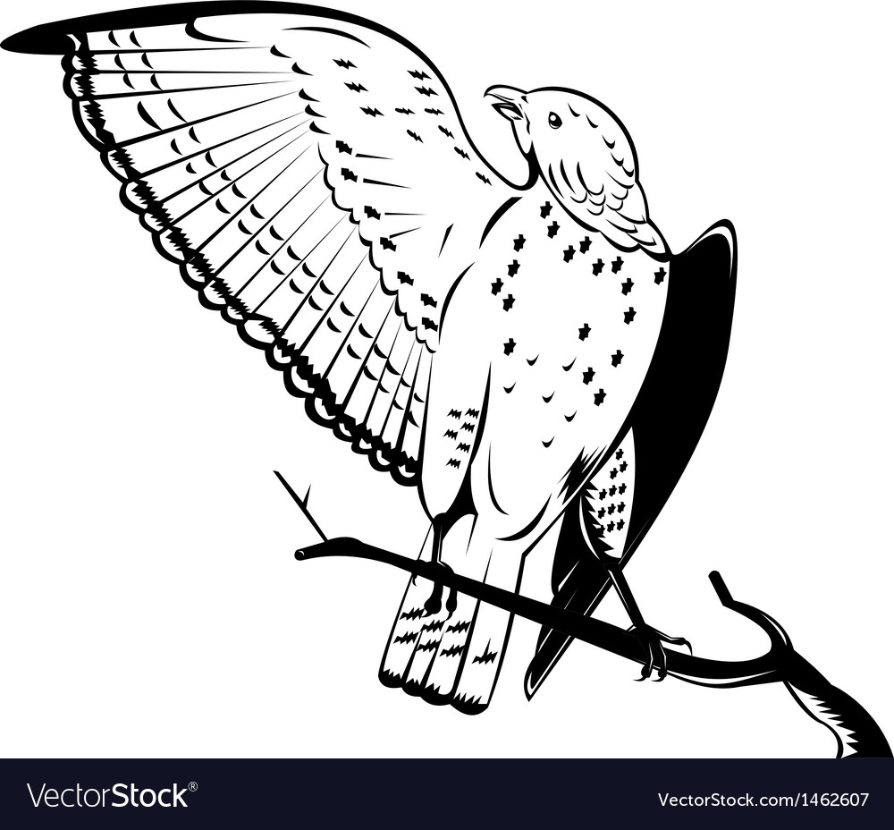 Broad winged hawk perched on branch vector | Price: 1 Credit (USD $1)