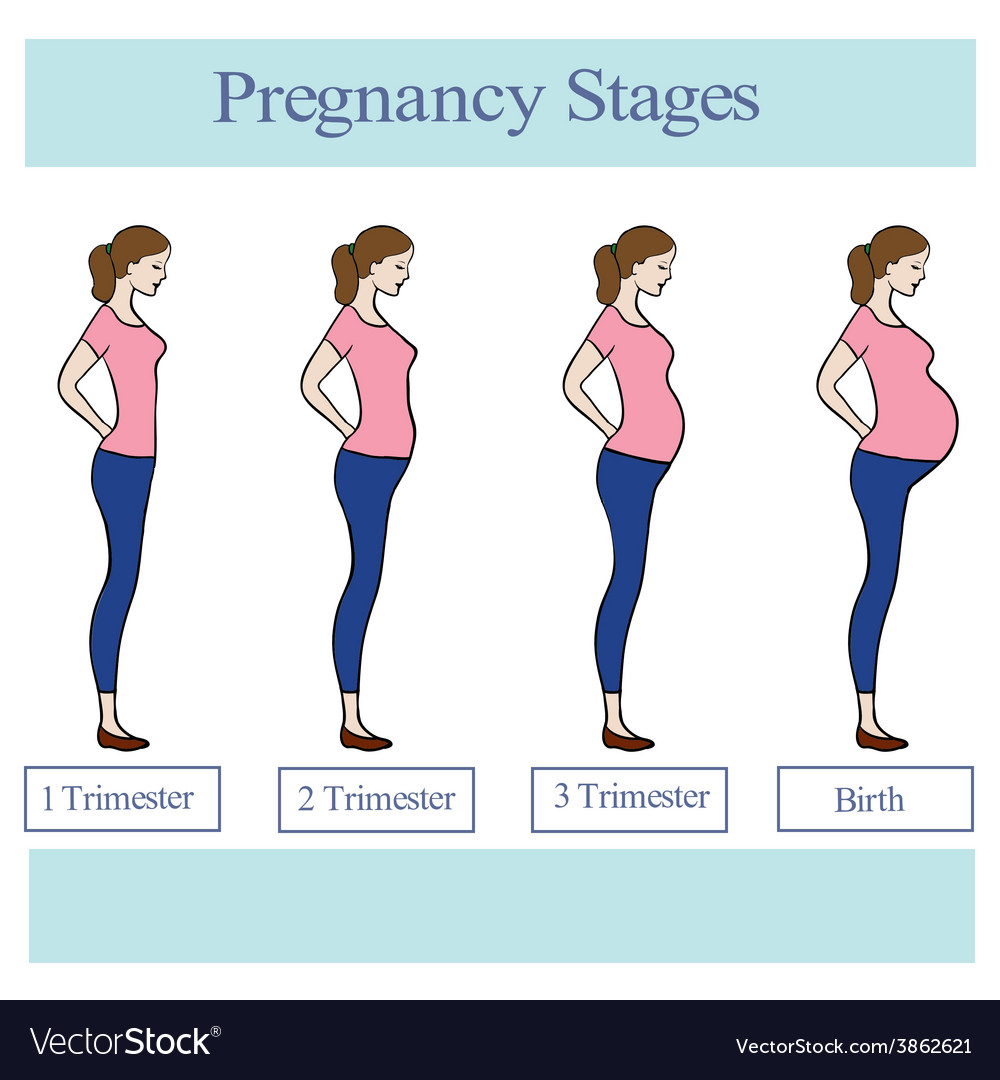 Pregnancy stages vector | Price: 1 Credit (USD $1)