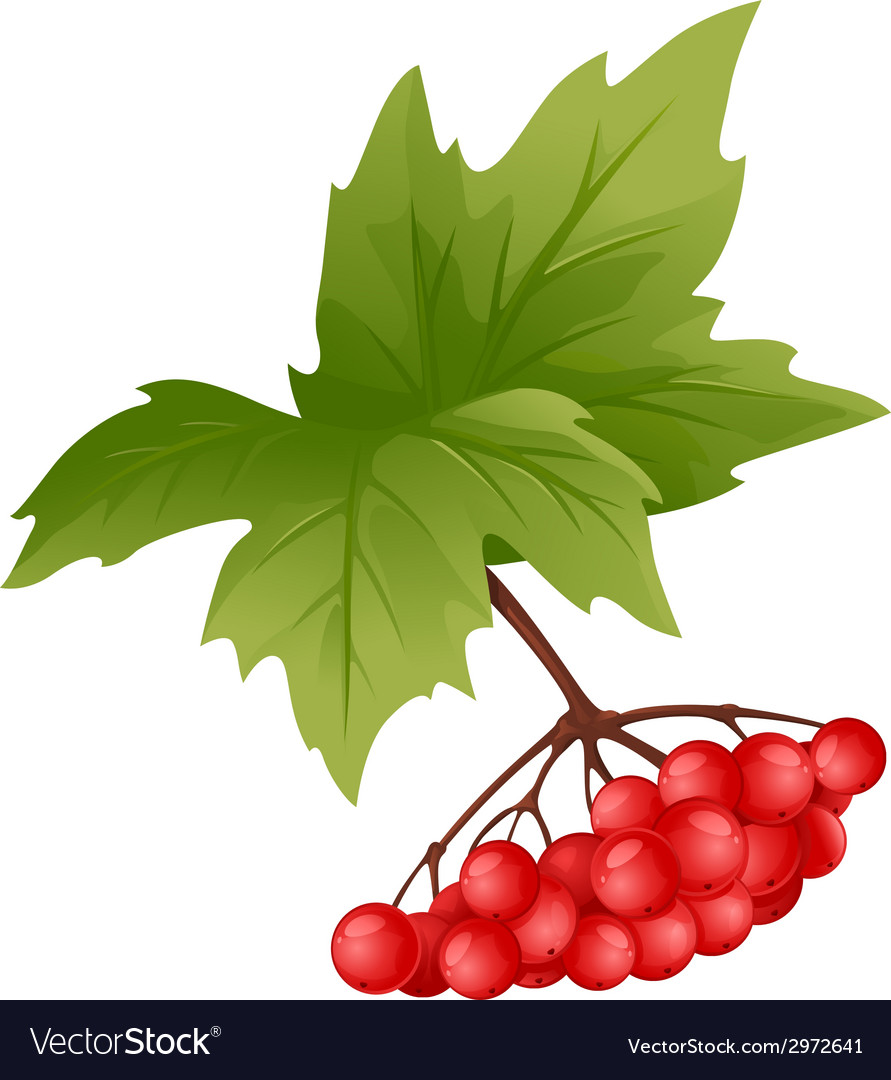 Branch of viburnum vector | Price: 1 Credit (USD $1)