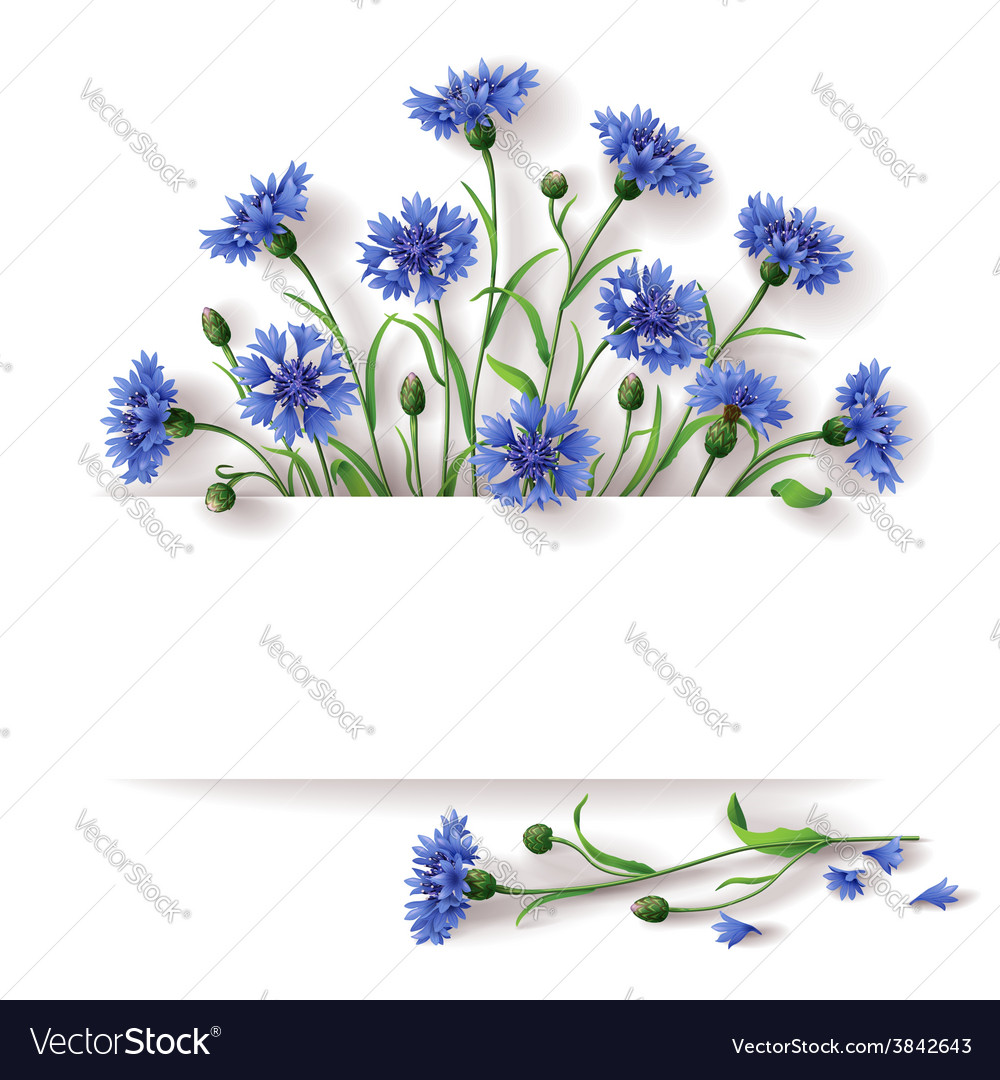 Cornflower banner vector | Price: 1 Credit (USD $1)
