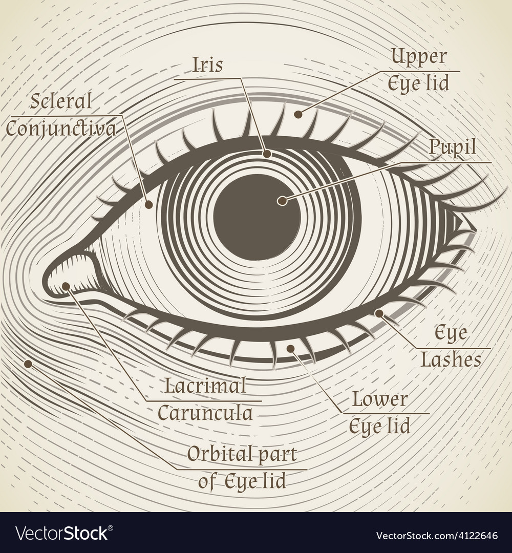 Human eye etching with captions cornea vector | Price: 1 Credit (USD $1)