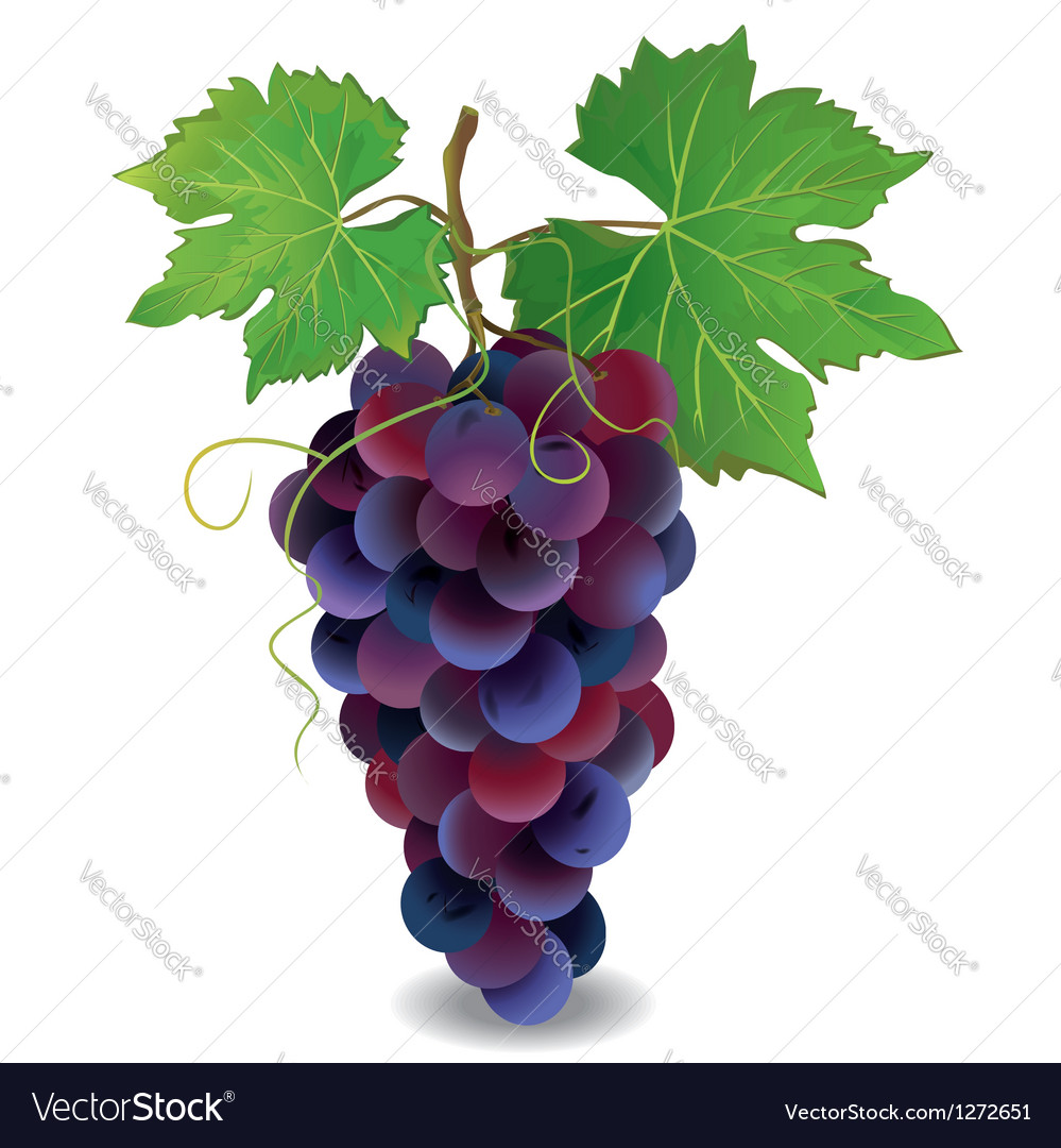 Blue grape with green leaves vector | Price: 1 Credit (USD $1)