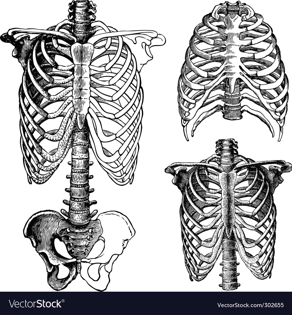 Anatomical chest drawings vector | Price: 1 Credit (USD $1)