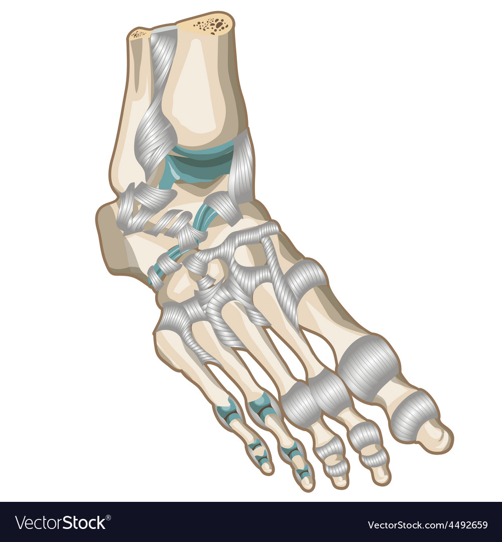 Ligaments and joints of the foot vector | Price: 1 Credit (USD $1)