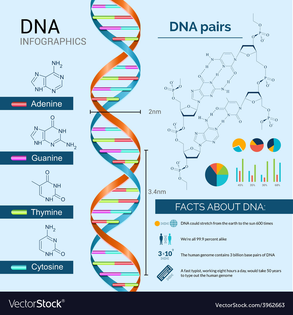 Dna infographics set vector | Price: 1 Credit (USD $1)