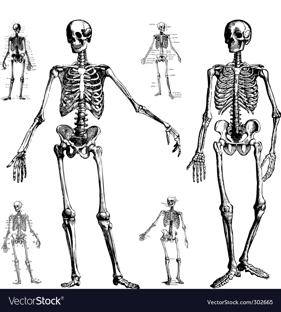 Skeleton drawings vector
