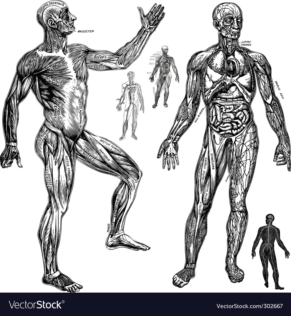 Anatomical drawings vector | Price: 1 Credit (USD $1)