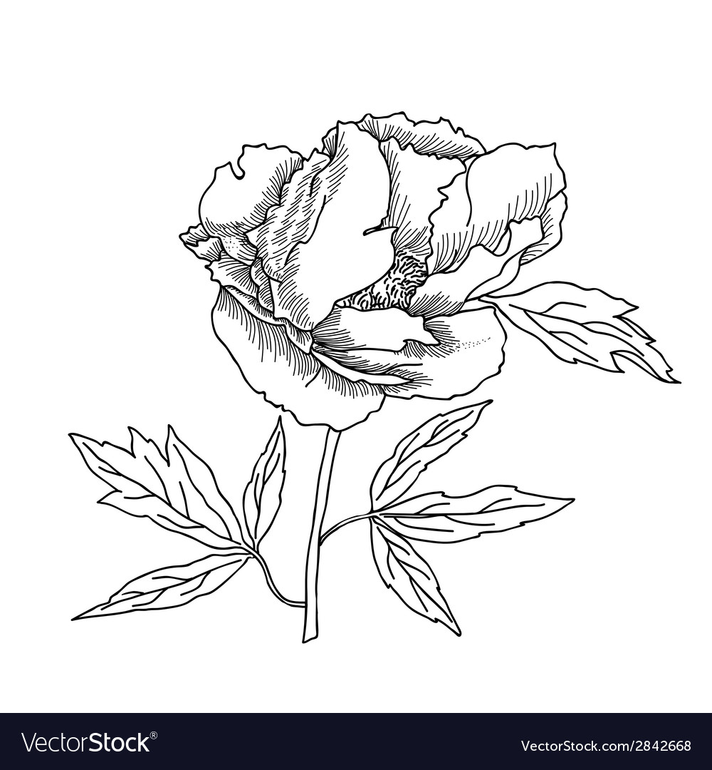Peony sketch black and white vector | Price: 1 Credit (USD $1)