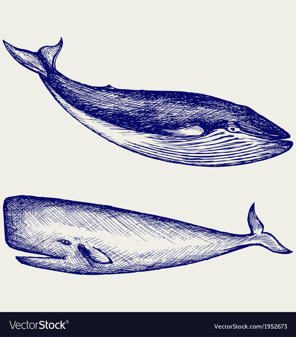 The humpback whale vector | Price: 1 Credit (USD $1)