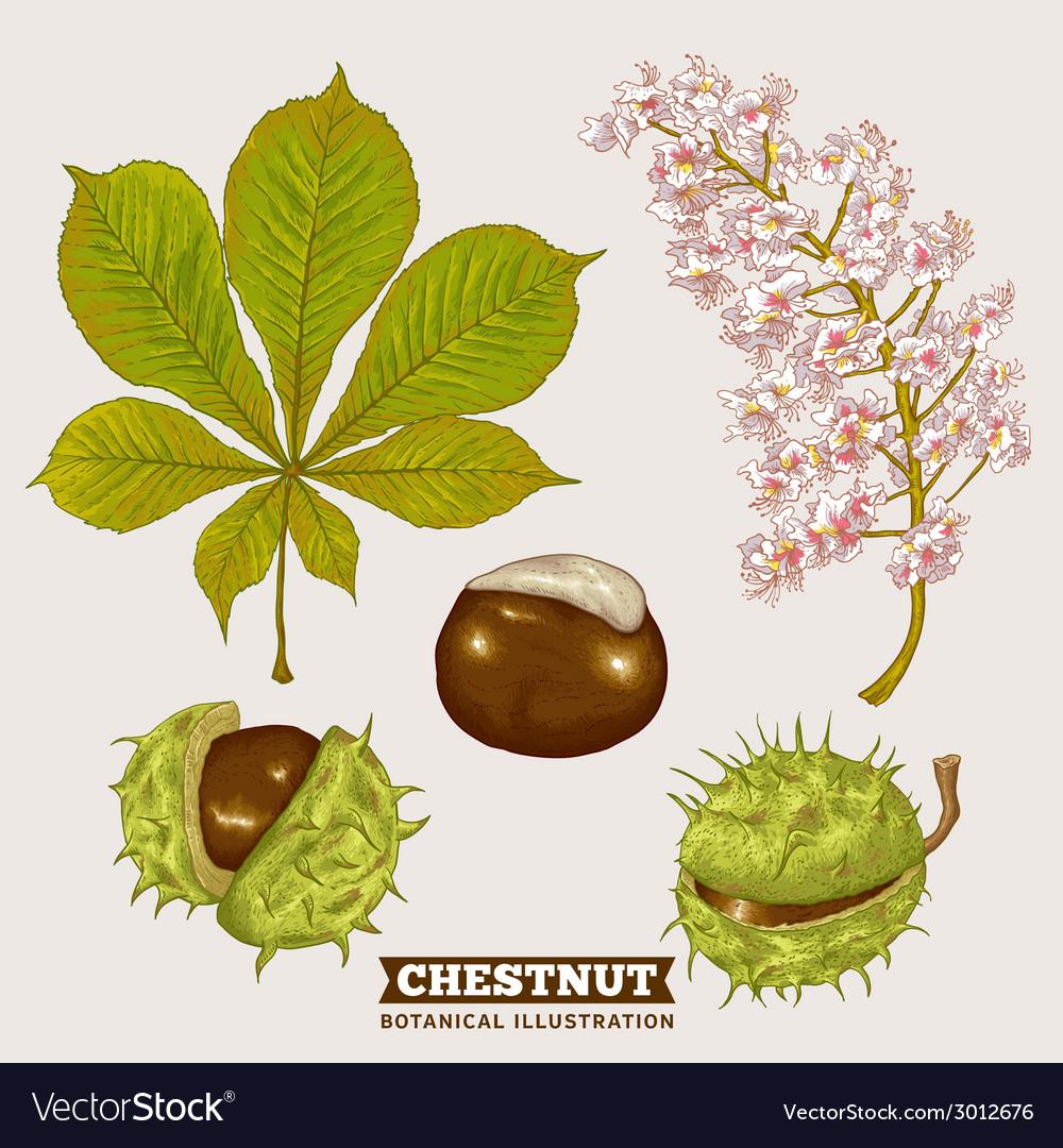 Blossom chestnut botanical vector | Price: 1 Credit (USD $1)