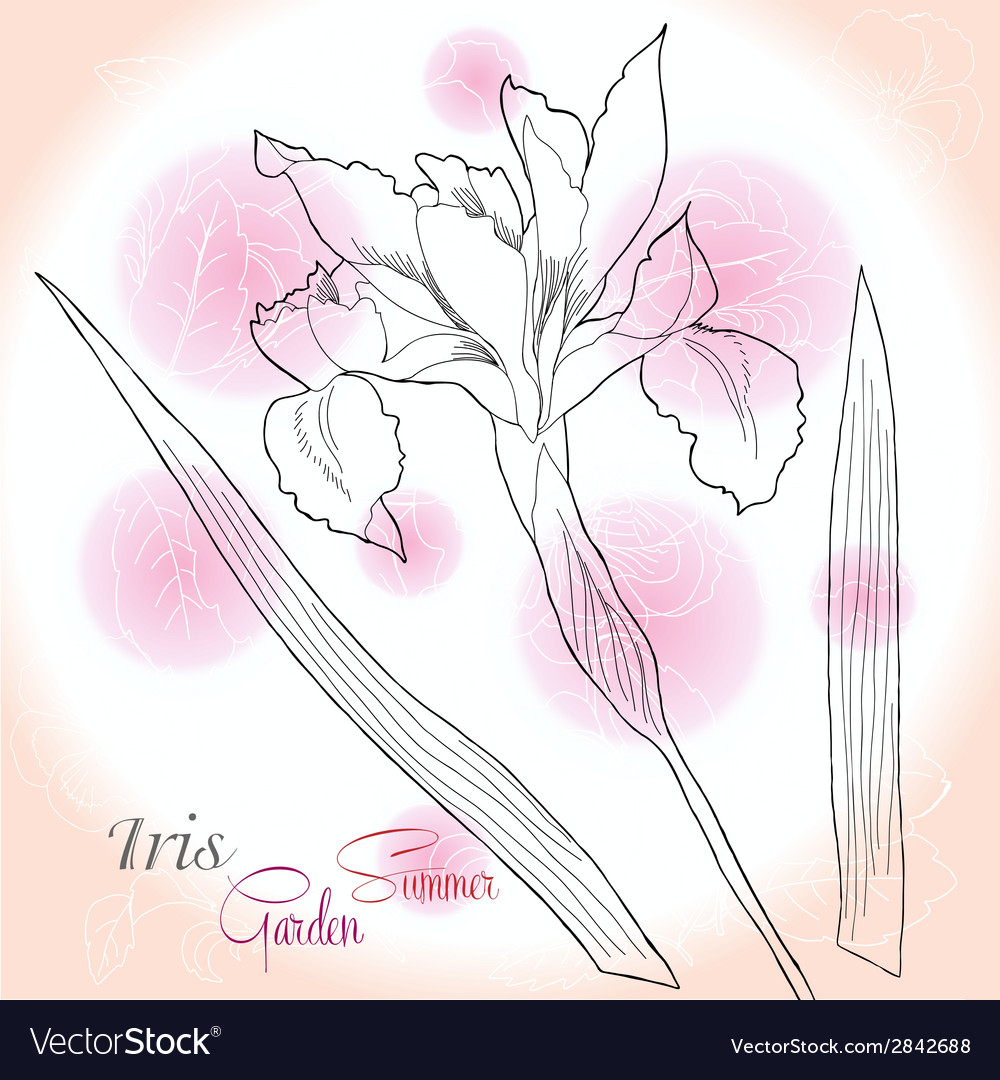 Pink background with one iris vector | Price: 1 Credit (USD $1)