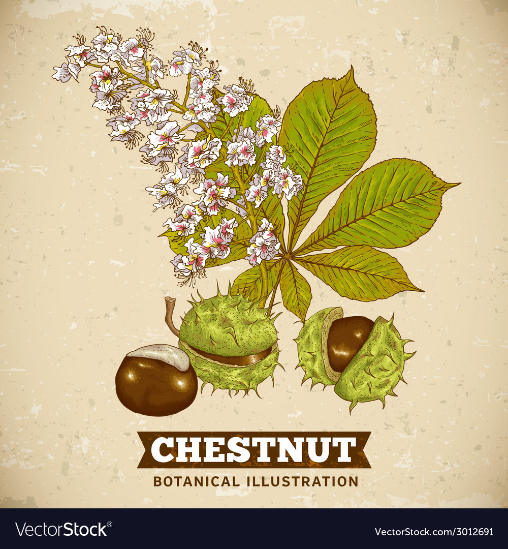 Blossom chestnut botanical vector | Price: 1 Credit (USD $1)