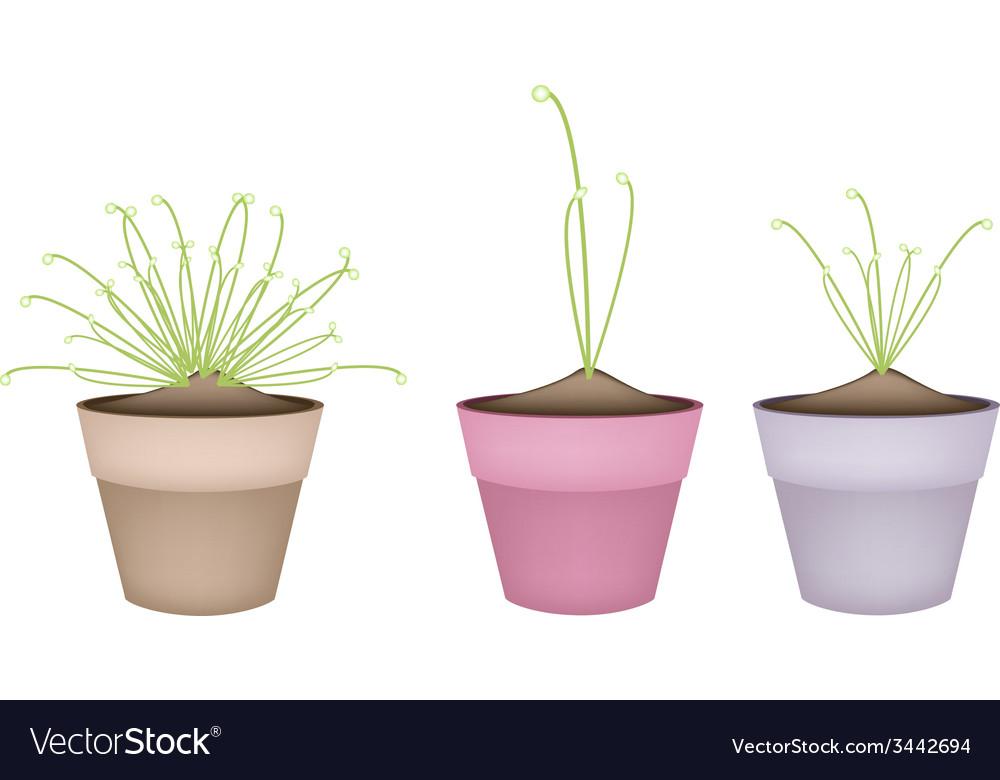 Three cyperus papyrus plant in ceramic flower pots vector | Price: 1 Credit (USD $1)
