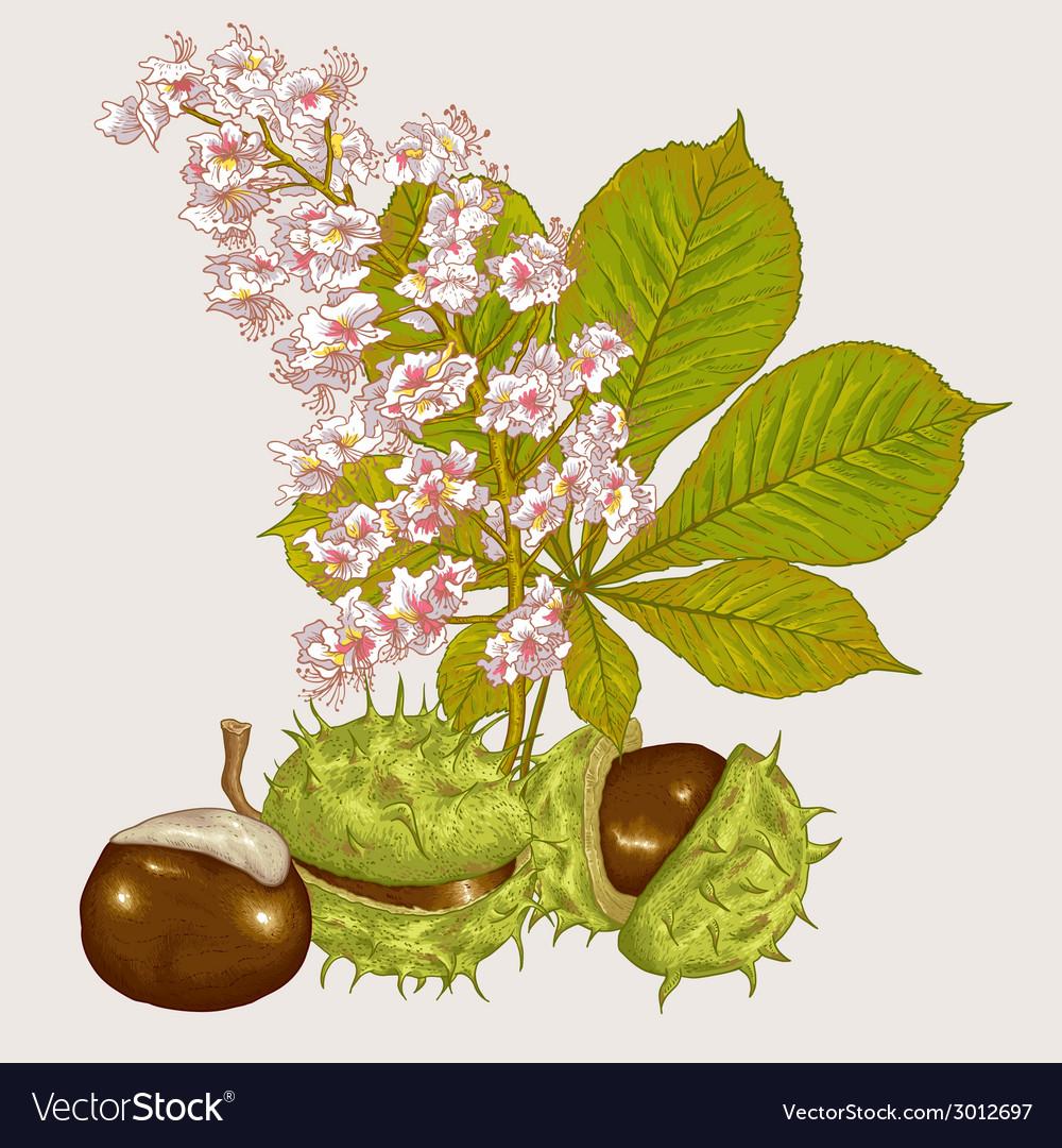Blossom chestnut botanical vector   Price: 1 Credit (USD $1)