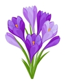 Bouquet of flowers crocus on white background vector