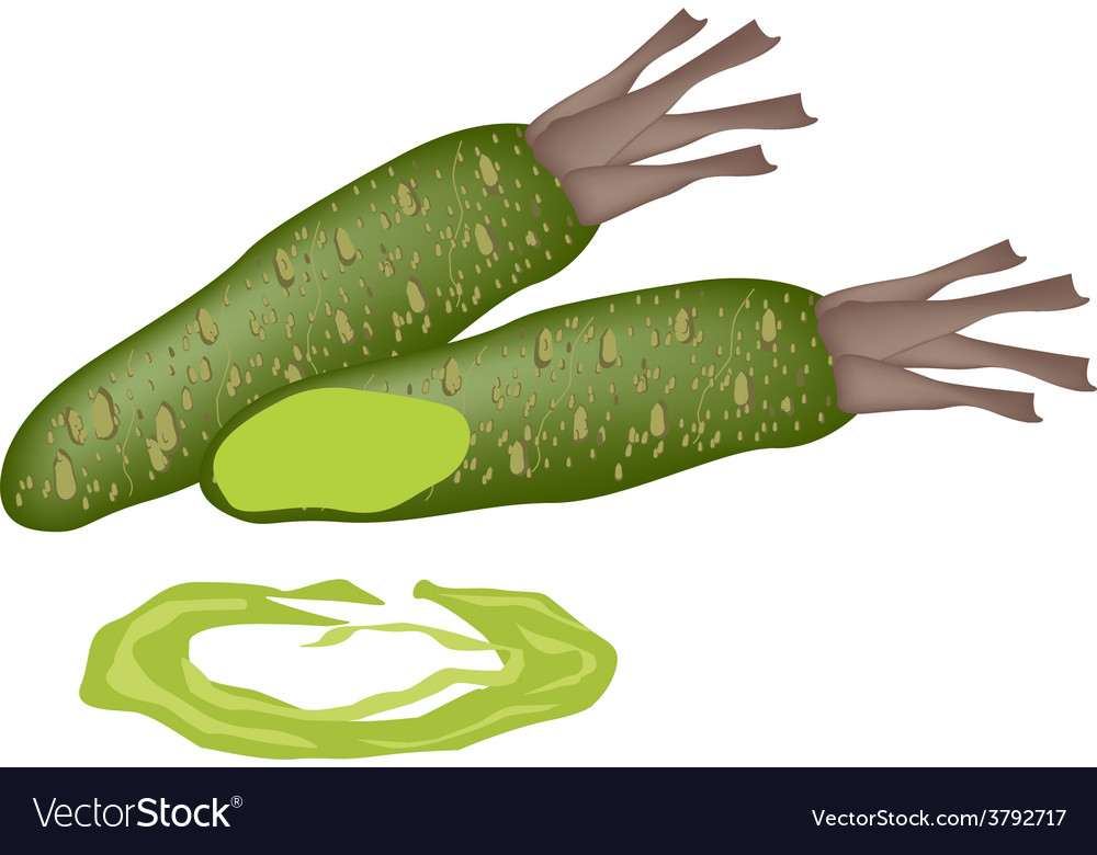 Fresh wasabi root also known as japanese horserad vector | Price: 1 Credit (USD $1)