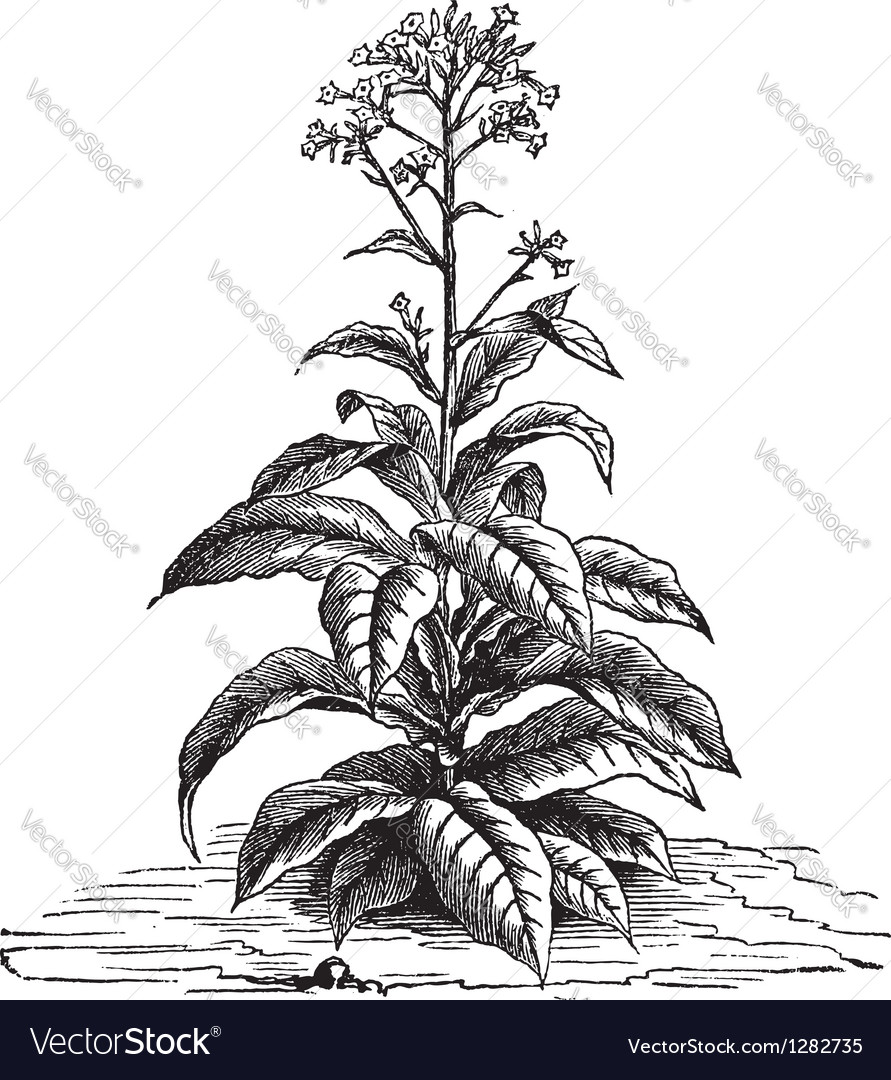 Tobacco plant vintage engraving vector | Price: 1 Credit (USD $1)