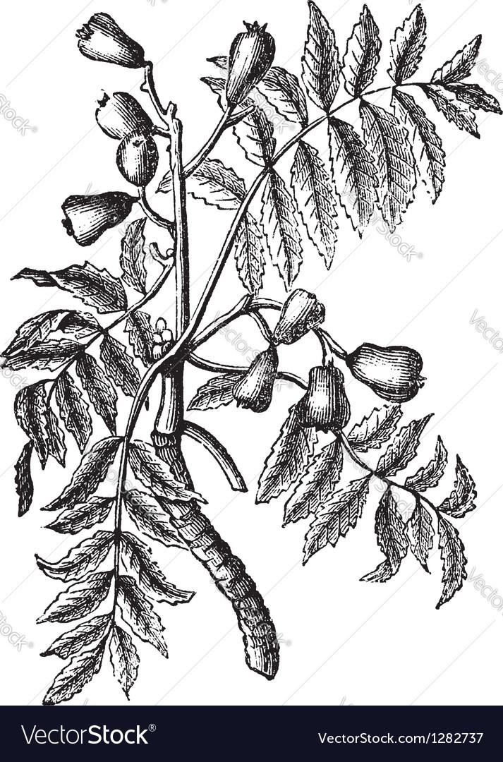 Service tree vintage engraving vector   Price: 1 Credit (USD $1)