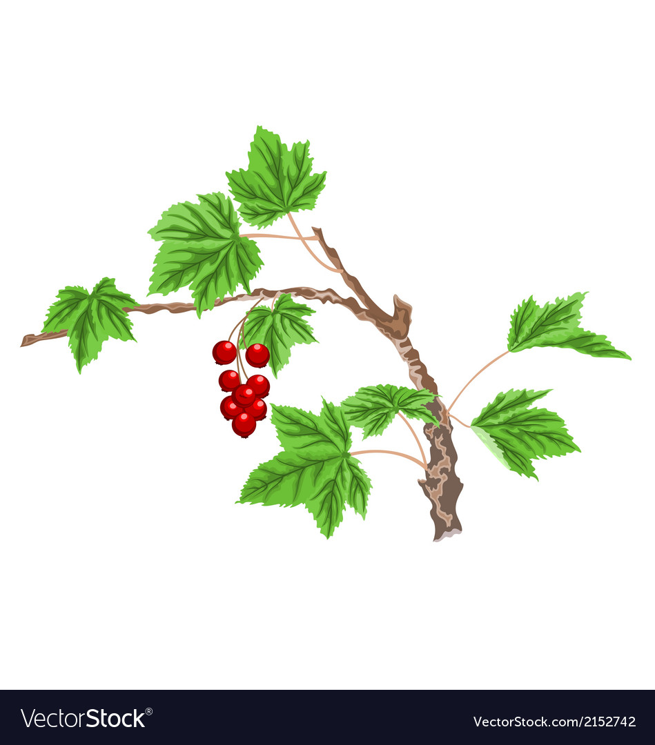 Currant-twig-with-red-berri vector | Price: 1 Credit (USD $1)