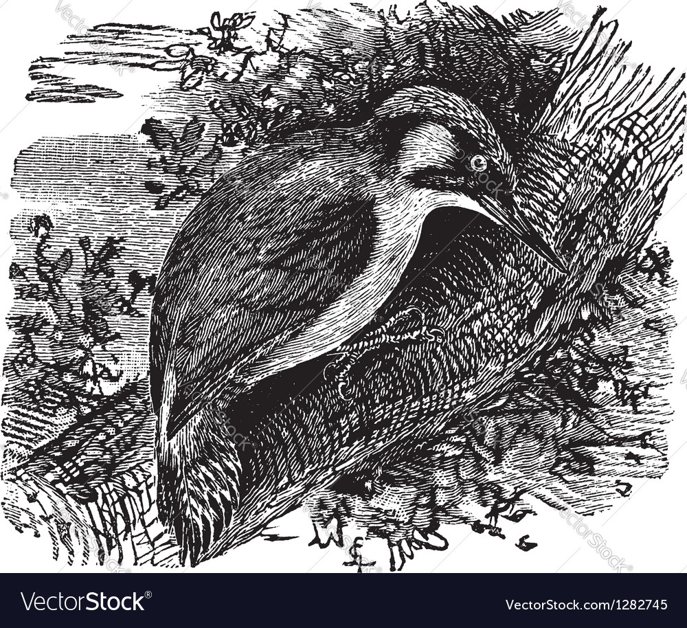 Woodpecker vintage engraving vector | Price: 1 Credit (USD $1)