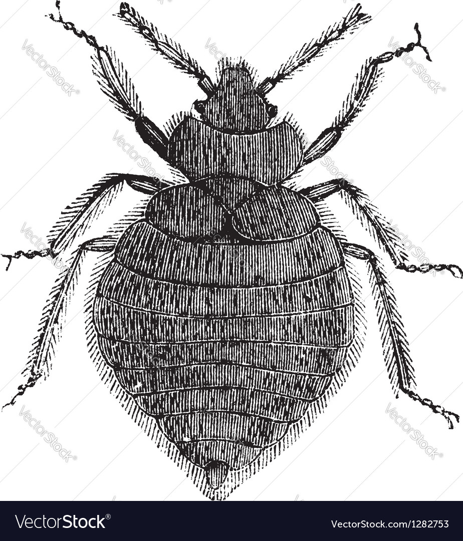 Bed bugs vintage engraving vector | Price: 1 Credit (USD $1)