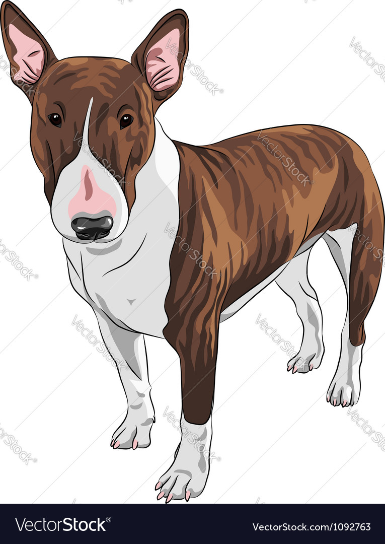 Bull terrier dog in black and tan vector | Price: 3 Credit (USD $3)