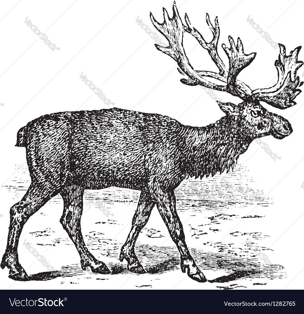 Reindeer vintage engraving vector | Price: 1 Credit (USD $1)