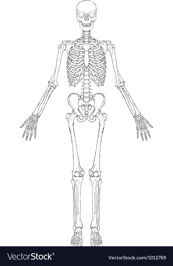 Human skeleton vector | Price: 1 Credit (USD $1)
