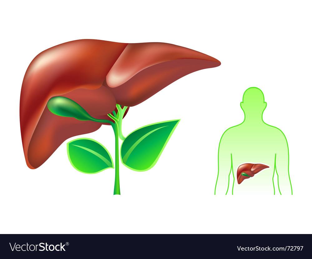 Human liver vector | Price: 1 Credit (USD $1)