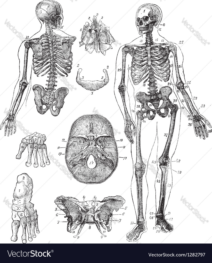 Human skeleton vintage engraving vector | Price: 1 Credit (USD $1)