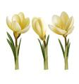 Crocus flowers vector