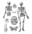 Human skeleton vintage engraving vector