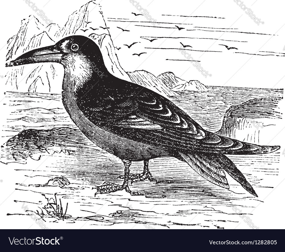 Black skimmer vintage engraving vector | Price: 1 Credit (USD $1)