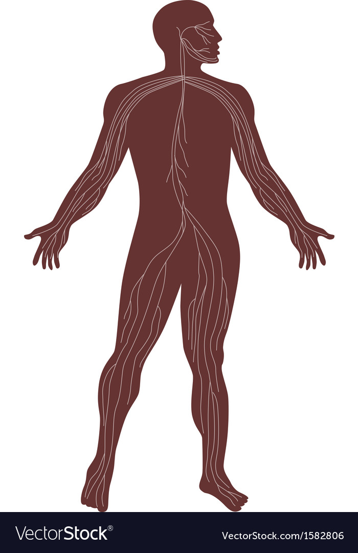 Male human anatomy nervous system vector | Price: 1 Credit (USD $1)