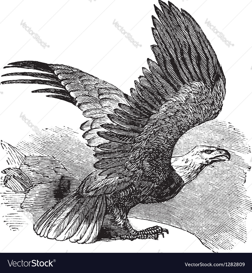 Bald eagle vintage engraving vector | Price: 1 Credit (USD $1)