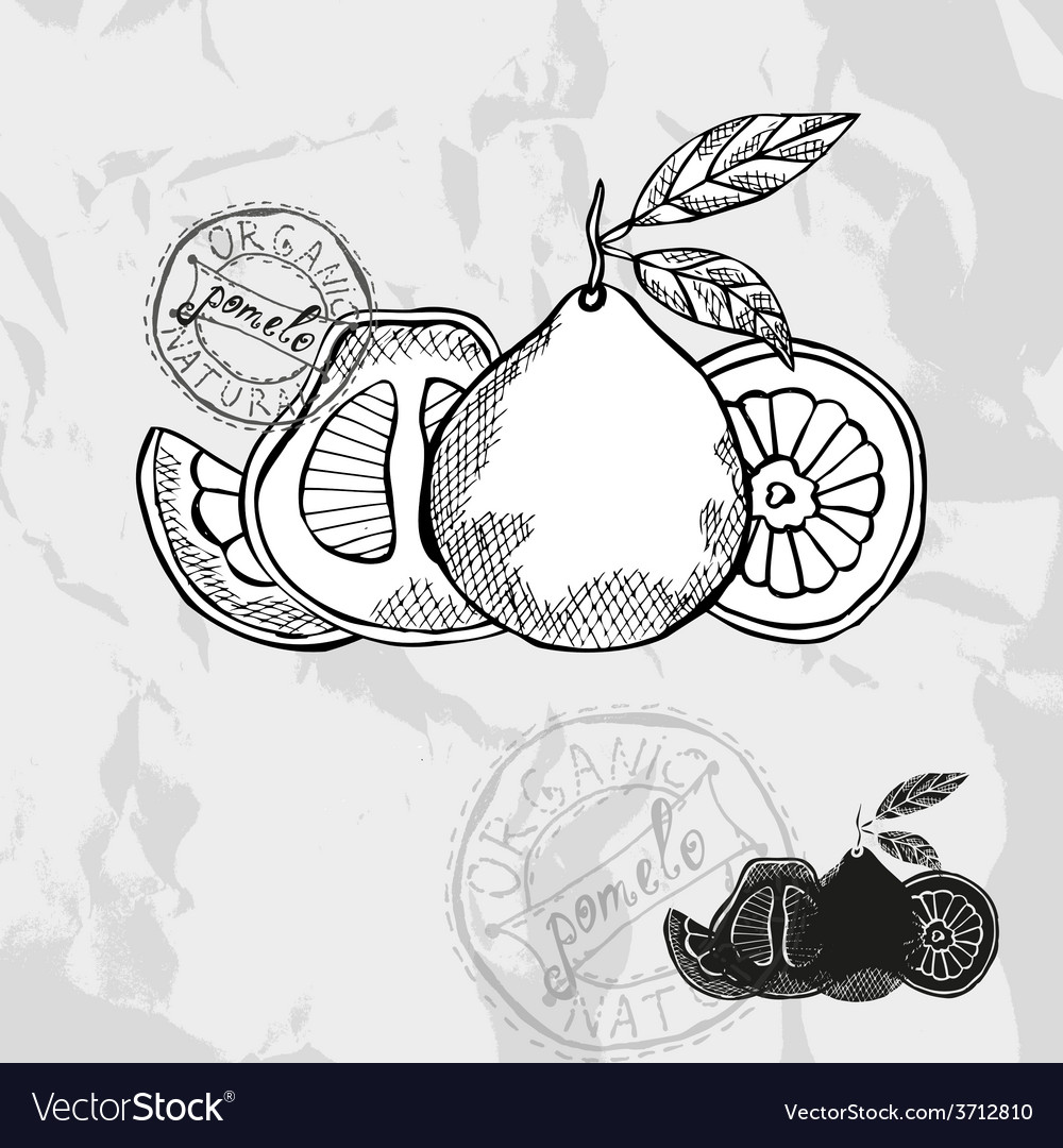 Hand drawn decorative pomelo vector | Price: 1 Credit (USD $1)