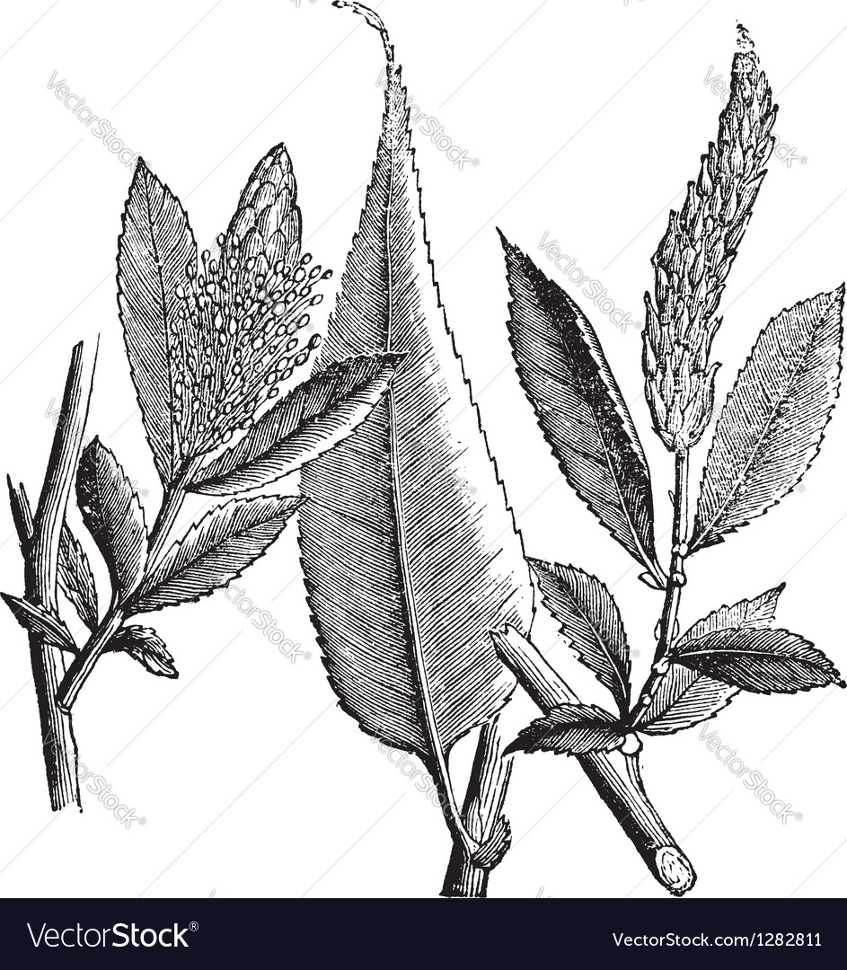 Shining willow vintage engraving vector   Price: 1 Credit (USD $1)