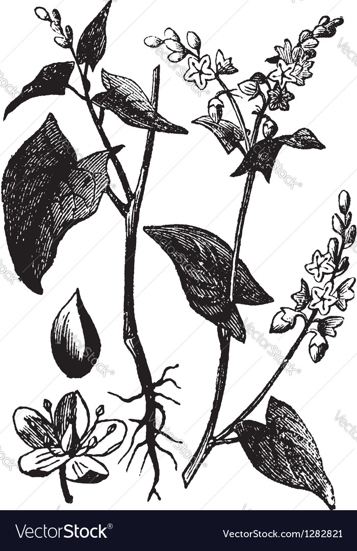 Buckwheat vintage engraving vector | Price: 1 Credit (USD $1)