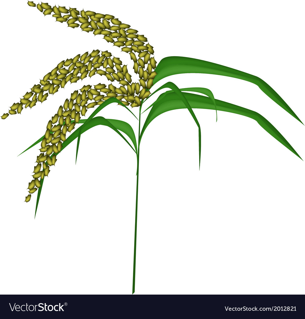 Green colors of unripe millet on white background vector | Price: 1 Credit (USD $1)