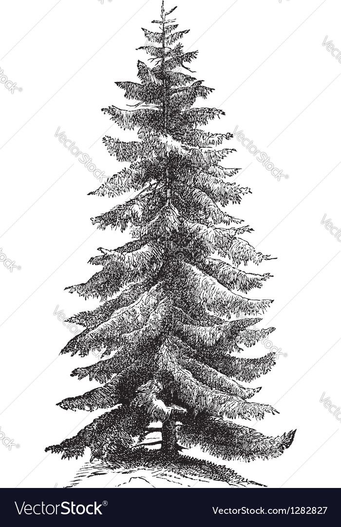 Norway spruce vintage engraving vector | Price: 1 Credit (USD $1)