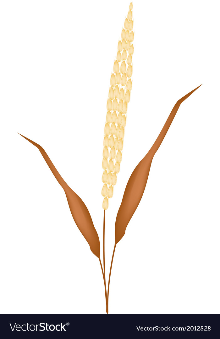 Golden colors of ripe millet on white background vector | Price: 1 Credit (USD $1)