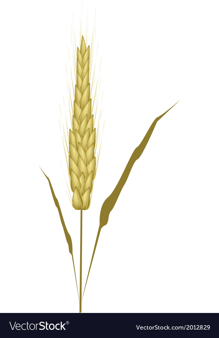 Golden color of wheat on white background vector | Price: 1 Credit (USD $1)