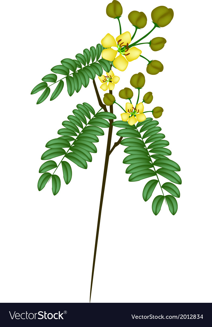 A fresh senna siamea on white background vector | Price: 1 Credit (USD $1)